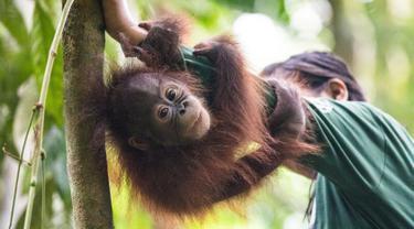 Foto pada 22 Mei 2018, seorang staf bermain dengan salah satu orangutan yatim piatu di Sekolah Hutan Orangutan yang baru dibuka di Kalimantan Timur. Sekolah tersebut didirikan Organisasi kesejahteraan satwa internasional Four Paws. (HO/FOUR PAWS/AFP)