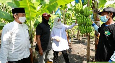 Banyuwangi Genjot Pengembangan Pisang Cavendish Pacu Pendapatan Petani
