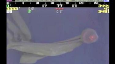 Ubur-ubur Langka di Teluk Meksiko
