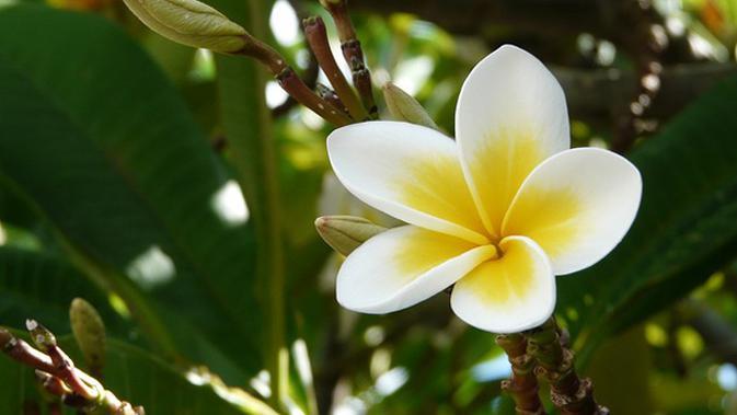 Kisah Kejayaan Kamboja Si Bunga Sakral Bali Regional Liputan6 Com
