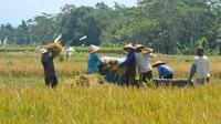 Petani di Kalimanah Kulon, Kalimanah, Purbalingga ogah menggunakan mesin pemanen otomatis (combine harvester) dan lebih memilih panen dengan mesin tradisional. (Foto: Liputan6.com/Muhamad Ridlo)