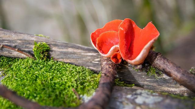 Ciri-Ciri Jamur Ascomycota dan Pemanfaatannya dalam Kehidupan ...