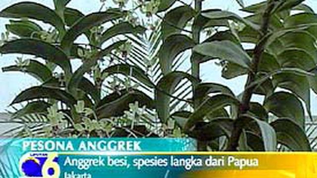 Anggrek Besi Spesies Langka Asal Papua News Liputan6 Com