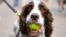 Seekor anjing polisi membawa bola tenis di mulutnya pada hari kedua turnamen tenis Wimbledon 2019 di The All England Tennis Club, London (2/7/2019). Turnamen tenis Kejuaraan Wimbledon ini dimulai 1 Juli-14 Juli 2019. (AFP Photo/Daniel Leal-Olivas)