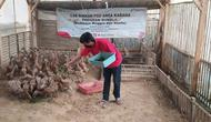 Dani, Ketua Kepompok Motekar, Kadipaten, Tasikmalaya, jawa Barat tengah memberi pakan ternak maggot bagi itik peliharannya.(Liputan6.com/Jayadi Supriadin)