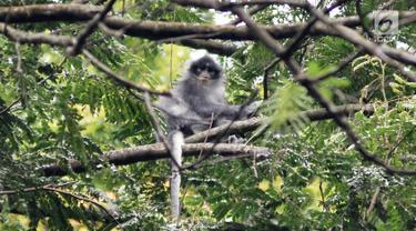 Monyet Surili Jawa (Presbytis Comata) bertengger di pepohonan Taman Nasional Gunung Halimun Salak (TNGHS), Jawa Barat, Sabtu (5/1). Surili Jawa adalah spesies monyet dunia lama yang merupakan primata endemik Jawa Barat. (Merdeka.com/Iqbal Nugroho)
