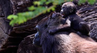Gorila dataran rendah barat, Lou Lou dan anaknya terlihat di Kebun Binatang Belo Horizonte, Brasil pada 14 Oktober 2019. Bayi gorila langka yang lahir  8 Juli 2019 ini merupakan keturunan keempat spesies dataran rendah barat yang sangat terancam punah. (DOUGLAS MAGNO/AFP)
