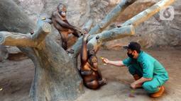 Penjaga kandang memberi makan Orangutan Sumatra (Pongo Abelii) di Taman Margasatwa Ragunan (TMR), Jakarta, Selasa (23/2/2021). Walau masih tutup akibat pendemi COVID-19, pelayanan terhadap satwa di TMR tetap berjalan setiap hari dan sesuai protokol kesehatan. (merdeka.com/Arie Basuki)