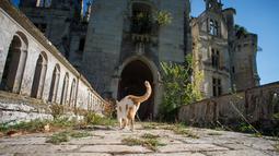 Seekor kucing melintas di depan kastil La Mothe-Chandeniers yang rusak oleh vegetasi di Les Trois-Moutiers, Prancis, 8 Oktober 2018. Kastil yang dibangun pada abad 13 ini kondisinya sangat memprihatinkan karena tak pernah terurus. (GUILLAUME SOUVENT/AFP)