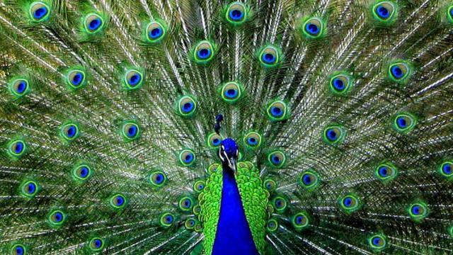 Unduh 57+  Gambar Burung Merak Bergerak  Paling Bagus Gratis