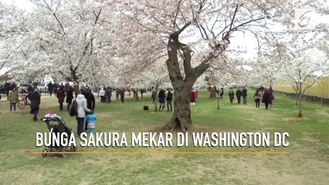 Festival Cherry Blossom di Washington DC telah dimulai, festival berlangsung dari 20 Maret hingga 15 April 2018.