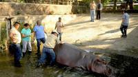 Kekerasan antar geng di El Salvador berujung menyedihkan dengan terlibatnya seekor kuda nil menjadi korban.