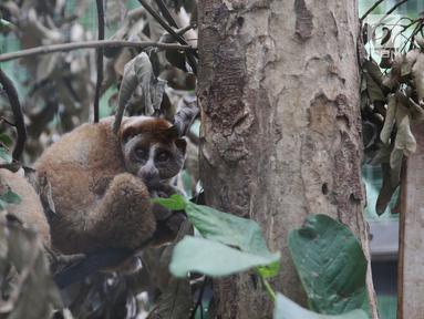 Sebagian orang menganggap Kukang sebagai hewan yang bisa dipelihara. Padahal, kukang sudah ditetapkan sebagai primata yang terancam punah. (Liputan6.com/Angga Yuniar)