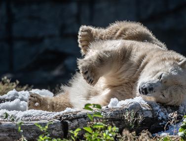 Kepanasan, Beruang Kutub Tonja Mandi Es dan Makan Buah Beku