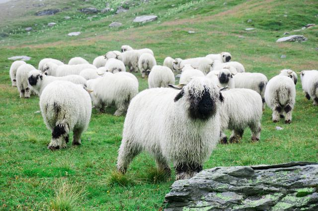 Valais Blacknose Sheep/Shutterstock.
