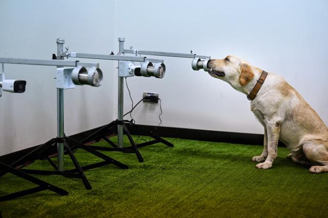 Bobby, anjing pelacak K9 jenis Retriever, mengendus sampel keringat untuk mendeteksi Covid-19 di Fakultas Ilmu Kedokteran Hewan di Universitas Chulalongkorn di Bangkok pada 21 Mei 2021. Tiga dari enam anjing labrador retriever di Thailand berhasil mendeteksi virus corona. (Lillian SUWANRUMPHA/AFP)