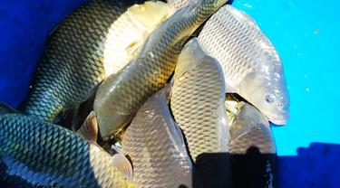 Ilustrasi Ikan Mas Asia