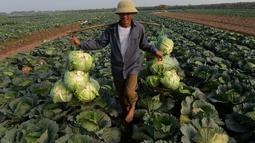 Kubis adalah sayuran yang mudah ditemui di Indonesia. Jenis sayuran ini mengandung belerang di dalamnya, yang penting untuk mengurai bahan kimia dari dalam tubuh, seperti pestisida hingga obat yang dikonsumsi ketika sakit. (AFP PHOTO / HOANG DINH NAM)