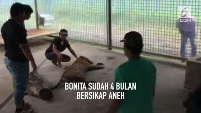 Harimau Bonita yang sempat menjadi viral karena meresahkan warga ternyata mengidap penyakit tumor yang muncul di perutnya.