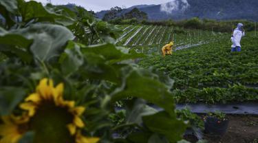 Turis mengumpulkan buah stroberi di pertanian dataran tinggi di Bener Meriah, provinsi Aceh tengah (1/9/2019). Kabupaten Bener Meriah menyimpan potensi agrowisata yang mempesona. Daerah di dataran tinggi Gayo ini terdapat salah satu agrowisata kebun stroberi. (AFP Photo/Chaideer Mahyuddin)