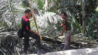 Nira dari pohon enau dianggap menjadi sumber miras tradisional yang sering dikonsumsi warga. (Liputan6.com/Eka Hakim)