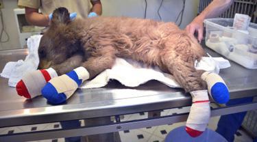 Bayi beruang betina terbaring di atas meja di Del Norte, Colorado, Amerika Serikat, Rabu (27/6). Kaki beruang terlihat diperban akibat terbakar saat kebakaran hutan terjadi di Colorado. (Joe Lewandowski/ Colorado Parks and Wildlife via AP)