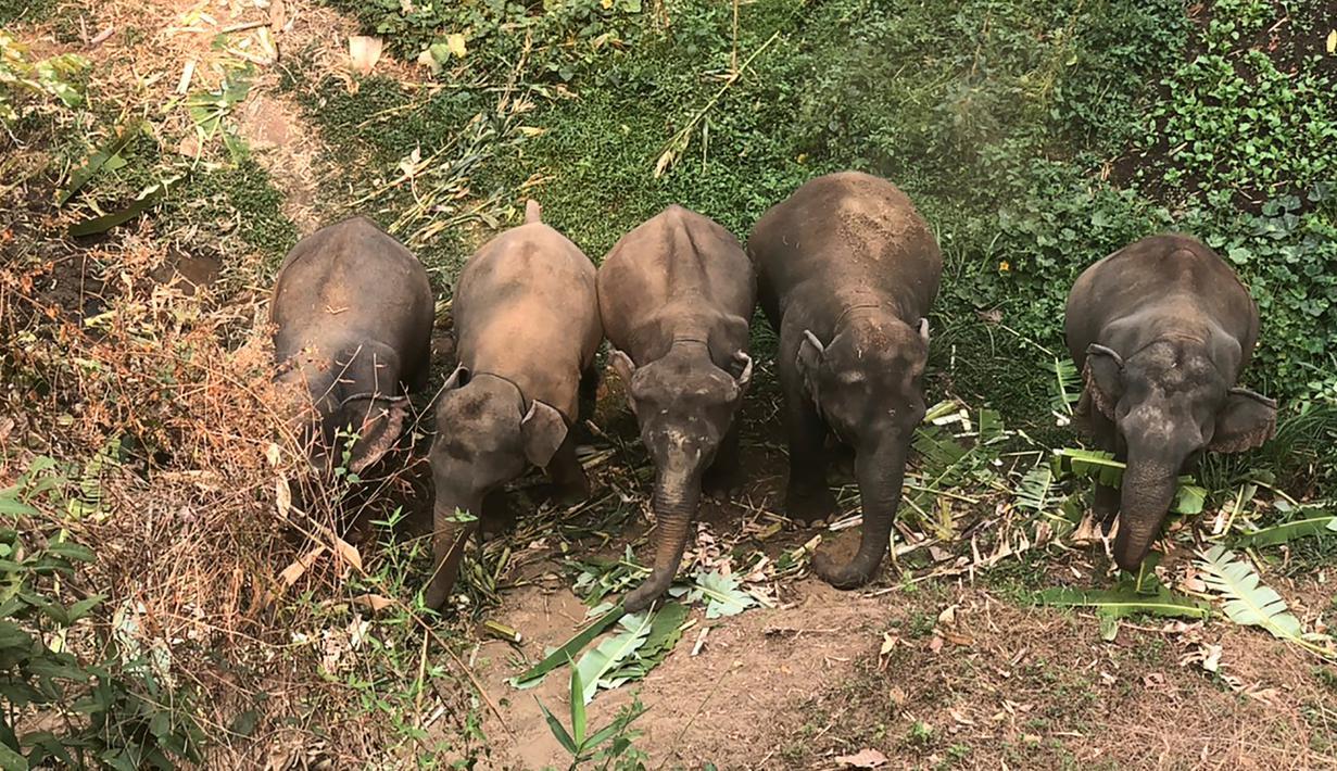 Sejumlah gajah mencari makan di dekat Peternakan Gajah Patara dekat Chiang Mai, Thailand (29/3/2020). Pariwisata Thailand yang lumpuh akibat hantaman pandemi Covid-19 menimbulkan masalah bagi gajah-gajah.  (HANDOUT/THAI ELEPHANT ALLIANCE ASSOCIATION/AFP)