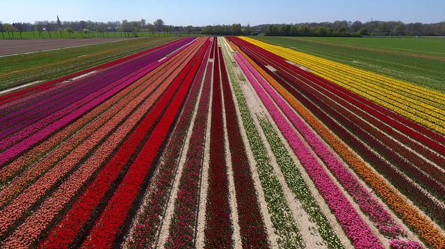 Pandangan udara terlihat ladang bunga tulip saat matahari bersinar di Korschenbroich, Jerman Barat (18/4). Tulip merupakan nama genus untuk 100 spesies tumbuhan berbunga yang termasuk ke dalam keluarga Liliaceae. (AFP Photo/Ina Fassbender)