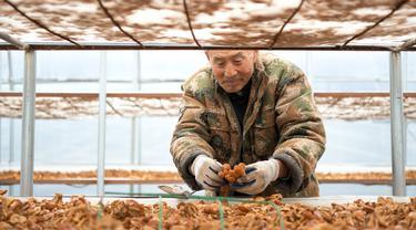 Penduduk desa memetik jamur pangan di pusat penanaman Desa Shiren, Mingshui, Heilongjiang, China, 11 Oktober 2020. Dalam beberapa tahun terakhir, Mingshui mendirikan beberapa pusat penanaman jamur pangan sehingga membantu rumah tangga miskin wilayah itu keluar dari kemiskinan. (Xinhua/Wang Jianwei)