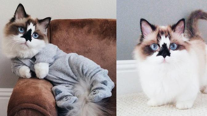 Perkenalkan Albert Kucing Lucu Dengan Mata Biru Menggemaskan Lifestyle Fimela Com