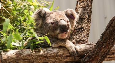 Koala terlihat di tempat penampungan sementara di Kebun Binatang Taronga, Sydney (17/12/2019). Puluhan koala berhasil diselamatkan dari jalur kebakaran hutan hebat di dekat Sydney, Australia. Para penyelamat menyebut ahabitat mereka sebagian besar sudah habis dilalap api. (AFP/Taronga Zoo)