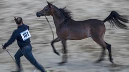 Seekor kuda Arab diarak untuk menunjukkan kelincahnnya dalam kontes Kecantikan Kuda Arab di desa Abusir, sekitar 20 km barat daya ibu kota Mesir, Kairo, 5 Oktober 2019. Kontes tersebut memperebutkan gelar kuda arab terindah. (Photo by Khaled DESOUKI / AFP)