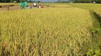 Salah satu strategi untuk mengantisipasi kemarau dilakukan Kelompok Tani Unggul, Desa Taman Martani dengan bermitra bersama PB Usaha Tani memproduksi benih padi tahan.