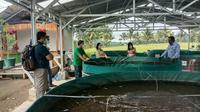 Panen ikan lele melalui usaha budidaya ikan lele bioflok, Kamis (17/12/2020).