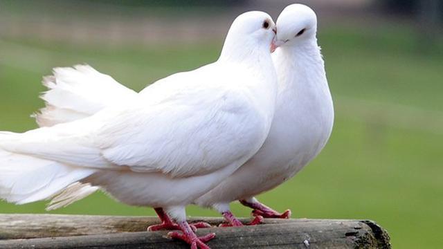 77  Gambar Burung Merpati Lambang Cinta  Terbaru Gratis