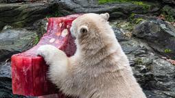Beruang kutub Hertha memeriksa bongkahan es berisi ikan, buah, dan sayuran di Kebun Binatang Berlin, Jerman, Minggu (1/12/2019). Hertha mendapatkan hadiah tersebut bertepatan dengan ulang tahun pertamanya. (Paul Zinken/dpa/AFP)