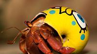 Cuplikan kepiting hermit saling bergantian cangkang untuk mengakomodasi tubuhnya yang semakin besar.