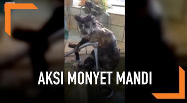 Layaknya manusia, seekor monyet mandi dengan sabun sambil menggosok-gosok badannya sendiri. Aksi monyet ini pun viral di media sosial.