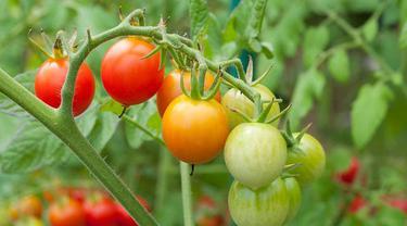 Cara Menanam Tomat yang Mudah di Rumah, Bisa di Tanah dan di Pot atau Polybag