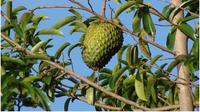 Selain memiliki buah yang lezat, ternyata daun sirsak juga memiliki kegunaan lain yang berguna untuk kesehatan (http://www.stylecraze.com/).
