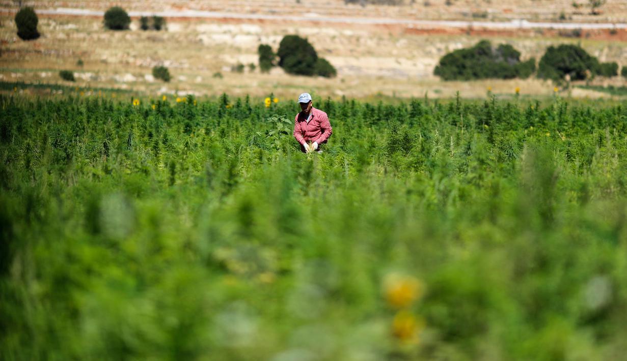 FOTO: Bakal Dilegalkan, Begini Hamparan Ladang Ganja di Lebanon ...