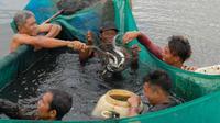 Panen sidat oleh anggota Koperasi Mina Sidat Bersatu dampingan Proyek IFish di Cilacap, Jawa Tengah. (FAO Indonesia / Yohanes Jaya)