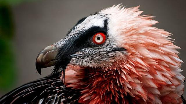 Bearded Vulture (sumber: mentalfloss)
