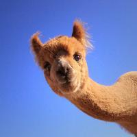 Alpaka, hewan mamalia dari Argentina yang wajahnya ekspresif bangeeet! (Via: boredpanda.com)