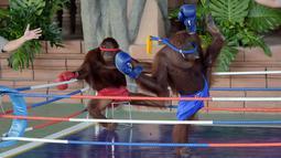 Dua orangutan bertanding kickboxing di atas sebuah ring saat pembukaan Phnom Penh Safari di Kamboja, Sabtu (23/6). Peresmian ini juga dihadiri oleh Perdana Menteri Kamboja Hun Sen. (AFP/Tang Chhin Sothy)
