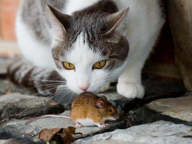 Seekor kucing bermain dengan tikus di peternakan Sehnde, Hanover, Jerman, Sabtu (20/12/2014). (AFP Photo/Julian Stratenschulte)