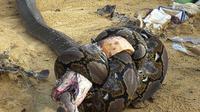 (Credits: original photographer via Imgur) perkelahian antara ular piton dengan king cobra.