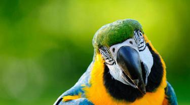 Ilustrasi burung beo (iStock)