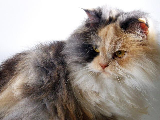9 Cara Merawat Kucing Anggora Yang Benar Bulunya Makin Menawan Hot Liputan6 Com