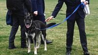 Penjaga berjalan dengan Major, salah satu anjing milik Presiden Joe Biden, di South Lawn Gedung Putih, Rabu (31/3/2021). Major kembali menggigit seseorang di Gedung Putih, hanya beberapa hari setelah kembali dari pelatihan di Delaware menyusul insiden serupa awal bulan ini. (Mandel Ngan/Pool via AP)